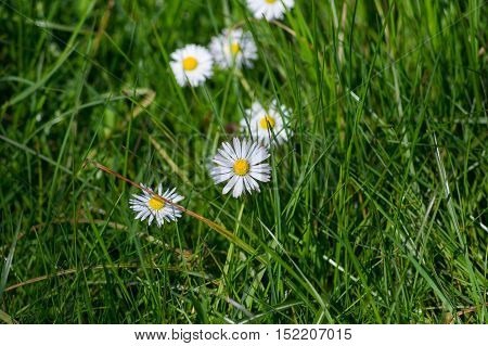 Close up of beautiful white daisies in spring