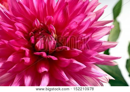 dahlia fine flower as part of decorative ornaments
