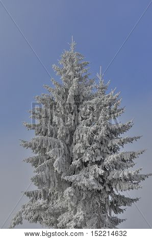 Hoar frosted pine tree in the mist agains blue sky