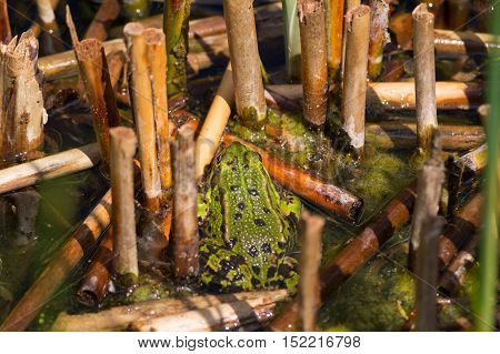 Rear view of a green common frog