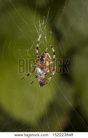 Spider Wraps Its Prey In A Web