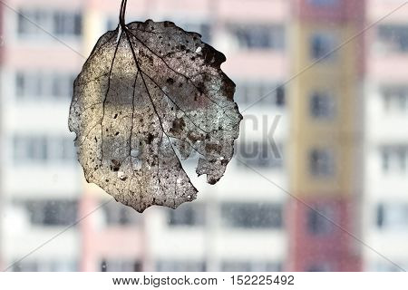 Veins of dry leaf of birch on a background of a multistory building