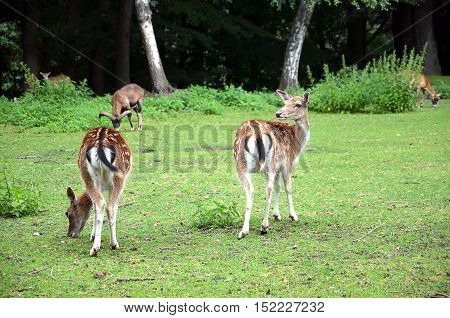 Two Fallow Deer Walking Away On The Grass Photography