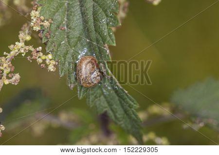 Snail Climbing Up A Leaf Nettle