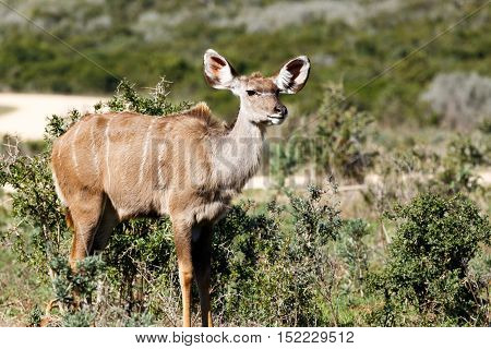 Female Greater Kudu Staring In A Distance