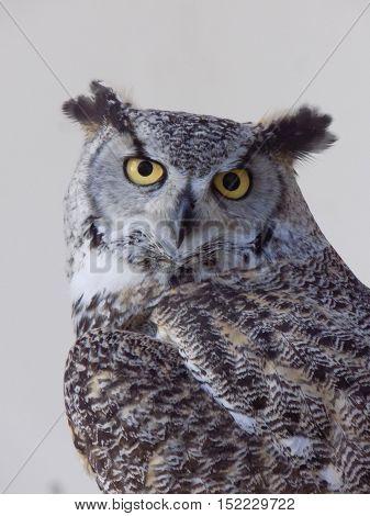 Coruja Cinzenta com olhos cor de Mel penetrantes