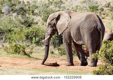 African Elephant Trying To Find Some Water.