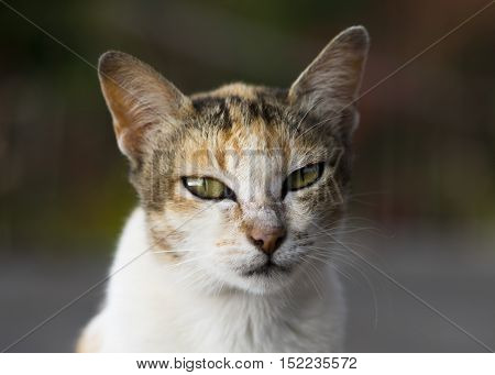 Wise cat,The balinese wise cat with green eyes