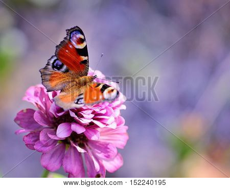 Peacock Butterfly (inachis Io) On A Pink Flower Zinnias On A Natural Background With Space For Text