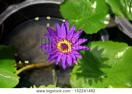 Beautiful abstract purple lotus flower in basin