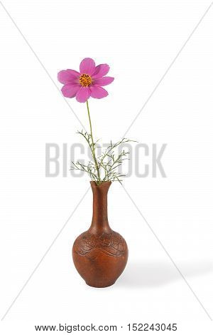 closeup Cosmos Flower in the clay pitcher isolated on white. vertical composition