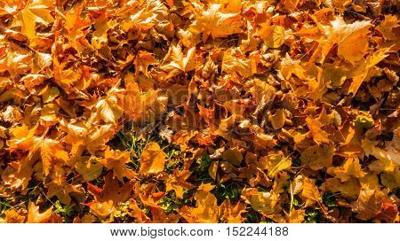 yellow, brown with red leaves lying on the ground in the fall, a large quantity, sunny day, maple leaves bright