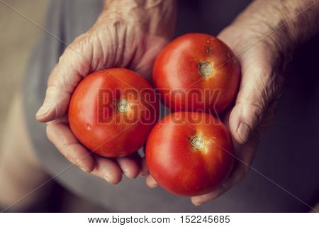 Top view of wrinkled woman's hands holding a handful of red ripe tomatoes.