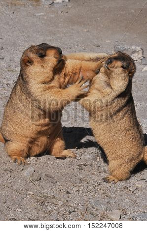 LEH, JAMMU AND KASHMIR, INDIA-OCTOBER 1, 2014: Two Himalayan Marmots fighting for the biscuit at Leh, Jammu and Kashmir, India.  The Himalayan Marmots (Marmota Himalayan) are large ground squirrels about the size of a large housecat