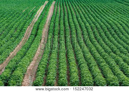 Large green potato field with plants planted in nice rows.