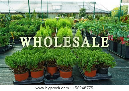 Wholesale concept. Different conifer trees in pots