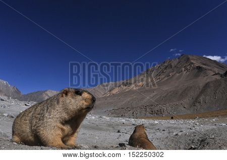 LEH, JAMMU AND KASHMIR, INDIA-OCTOBER 1, 2014:: The Himalayan Marmots enjoying Sun light at Leh, Jammu and Kashmir, India.  The Himalayan Marmots (Marmota Himalayan) are large ground squirrels about the size of a large housecat