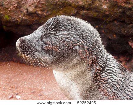 Young sea lion in the Galapagos Islands of Ecuador