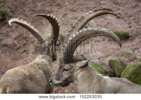 Alpine ibex (Capra ibex ibex), also known as the steinbock or bouquetin. Wildlife animal.