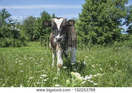 In the summer in the village of a small calf grazing in a meadow.