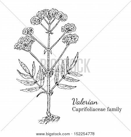 Ink valerian herbal illustration. Hand drawn botanical sketch style. Absolutely vector. Good for using in packaging - tea, condinent, oil etc - and other applications