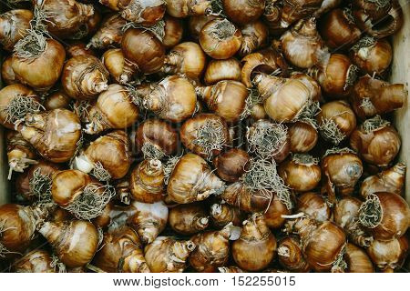Flower bulbs in a box. Tulip bulbs at a flower market in Amsterdam. Gardening background