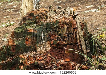 Wet rotten decaying trunk of big forest tree closeup