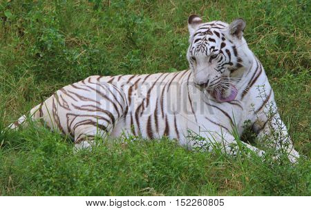 female white mutation Bengal Tiger lying in the grass, grooming her chest with her tongue, zoo near Songkhla, Thailand