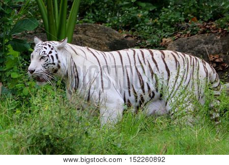 female white mutation Bengal Tiger standing in tall grass and foliage, zoo near Songkhla, Thailand