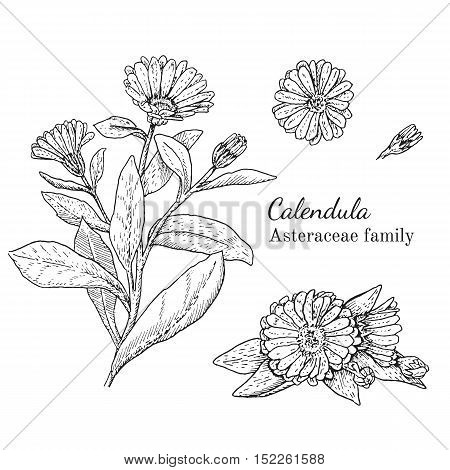 Ink calendula herbal illustration. Hand drawn botanical sketch style. Absolutely vector. Good for using in packaging - tea, condinent, oil etc - and other applications