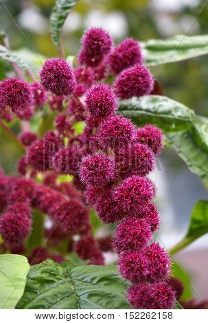 Amaranth plant flower seed, colorful celosia cockscomb flower, outdoor close up