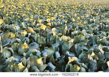 Big cabbage field background. Agricultural landscape on sunny day