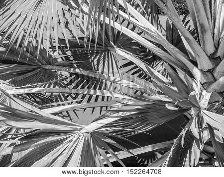 Thailand tropical trees under the bright sun. Black and white background.