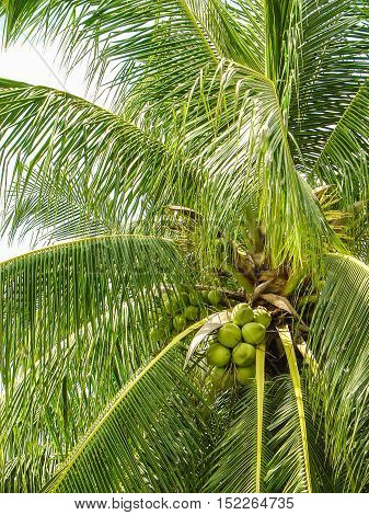 Thailand tropical trees with coconut under the bright sun. close up.