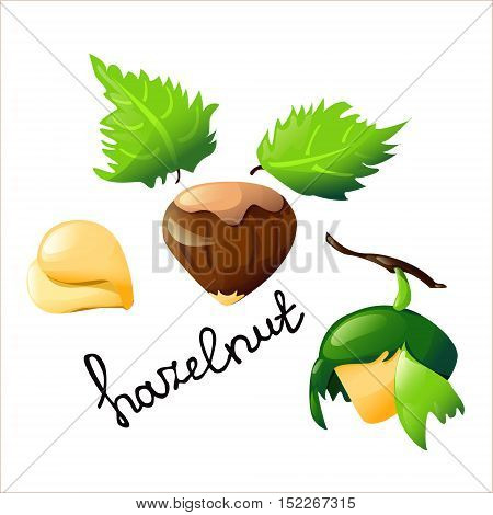Vector botanical illustration with an isolated hazelnut tree and leaves. Perfect cartoon design for cooking oil label logo chocolate cover ice cream cover recipe biology book or poster
