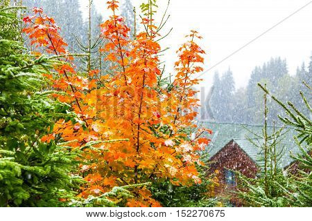 yellow autumn tree with green fir trees under the snow