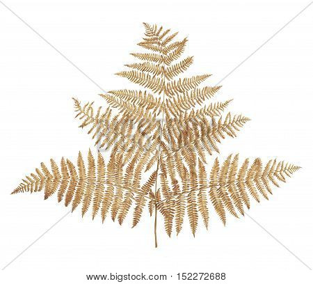 Branch of dried fern isolated agains white background.