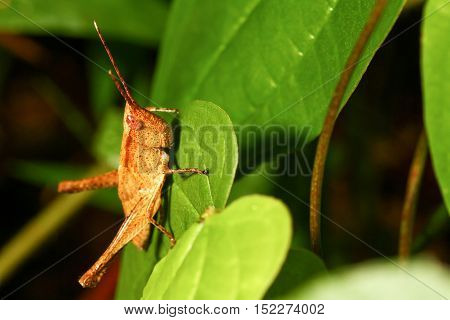 Grasshopper brown on green leaf in wild