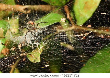Wolf spider Lycosidae on Cobweb in wild