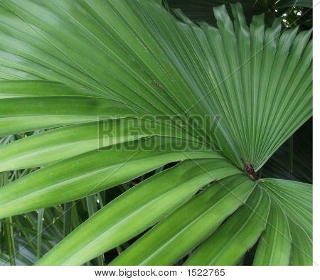 Palm_Leaf_1