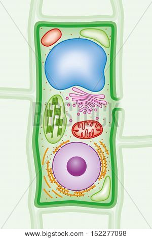 Plant cell structure cross-section with Green cell wall, membranes, and chloroplasts, purple nucleus, orange endoplasmic reticulum and ribosomes, blue vacuole, pink Golgi body and red mitochondria.