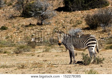 Mountain Zebra standing in a dry field with lots of bushes.