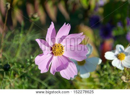 One autumn purple flower on green background