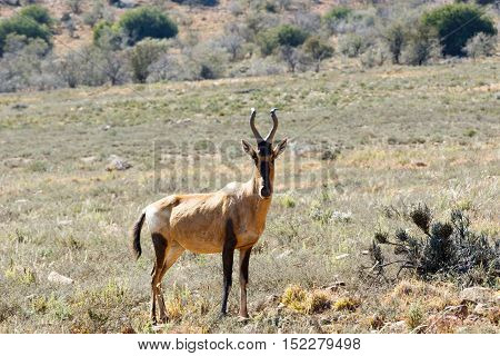 Red Hartebeest standing in the field surrounded with bushes.