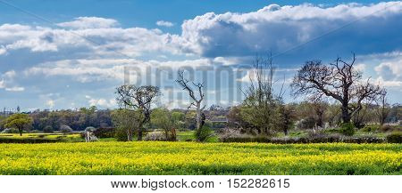 Farmland in Essex in the Springtime with rapeseed crop in foreground and dramatic sky
