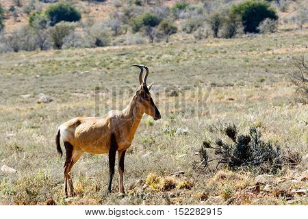 The side view of the Red Hartebeest standing in the field surrounded with bushes.