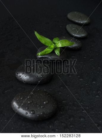 Spa concept with black basalt massage stones arranged chain and green bamboo sprout covered with water drops on a black background