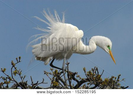 A Great White Egret in mating plumage