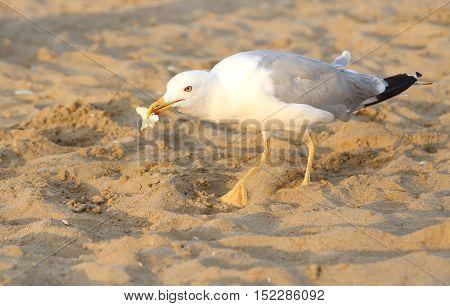 Seagull Eats A Bread Crumb On The Beach