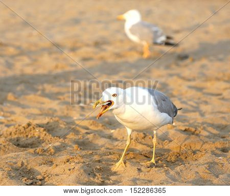 White Seagull Eats A Bread Crumb On The Beach In Summer